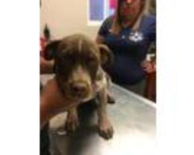 Adopt 47973921 a Red/Golden/Orange/Chestnut Pointer / Mixed dog in Los Lunas