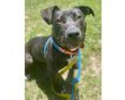 Adopt Meredith a American Pit Bull Terrier / Mixed Breed (Medium) / Mixed dog in