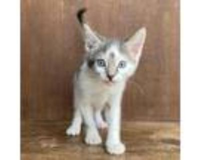 Adopt Ravenclaw a White Domestic Shorthair / Mixed cat in Fredericksburg