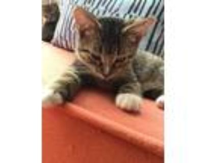 Adopt DON a Brown Tabby Domestic Shorthair / Mixed (short coat) cat in