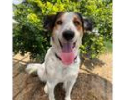 Adopt Norah a White Spaniel (Unknown Type) / Border Collie / Mixed dog in