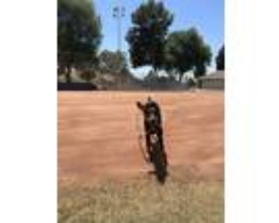 Adopt Ruca a Black - with Tan, Yellow or Fawn Doberman Pinscher / Mixed dog in