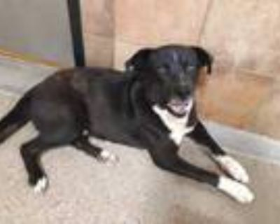 Adopt Pollo a Black Newfoundland / American Pit Bull Terrier / Mixed dog in Fort