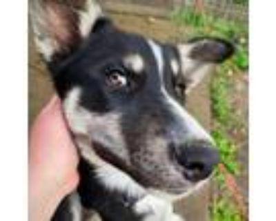 Adopt Luka a Black Husky / Mixed dog in Olathe, KS (31601954)