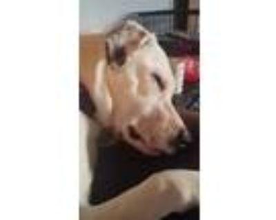 Adopt Courtesy - Sadie a White Labrador Retriever / Mixed dog in Mobile