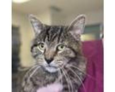 Sampson, Domestic Shorthair For Adoption In Indianapolis, Indiana