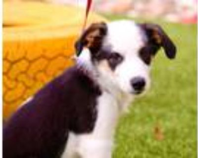 Adopt Hope a Border Collie, Cattle Dog
