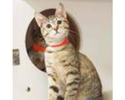Adopt Ferret a Gray or Blue Domestic Shorthair / Domestic Shorthair / Mixed cat