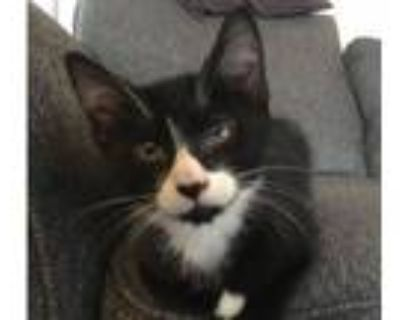 Adopt Mittens a American Shorthair