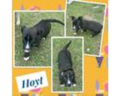 Adopt Hoyt a Black Welsh Corgi / Labrador Retriever / Mixed dog in El Dorado