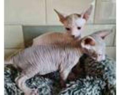 vet checked sphynx kittens for sale