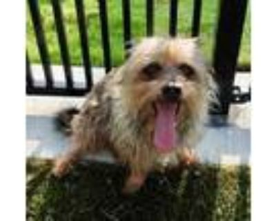 Adopt Polo a Black Dandie Dinmont Terrier / Mixed dog in Grapevine