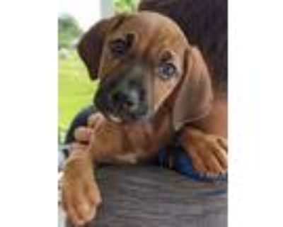Adopt LAGERFELD a Boxer