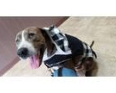 Adopt Max a Brindle Plott Hound / Great Dane / Mixed dog in Morristown