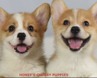 Health tested Red & White Pembroke Welsh Corgi Puppies
