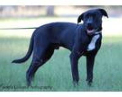 Adopt Mark a Black - with White Labrador Retriever / Mixed dog in Sheridan