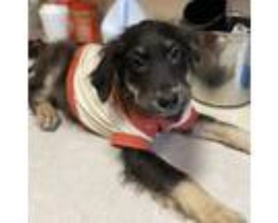 Adopt Dani a Labrador Retriever, Border Collie