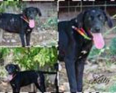 Adopt Kelly a Black Labrador Retriever / Mixed dog in DeForest, WI (32042814)