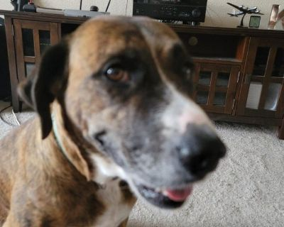 Free female adult boxer mix to great home