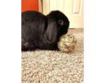 Mimi, Lop, Holland For Adoption In Houston, Texas