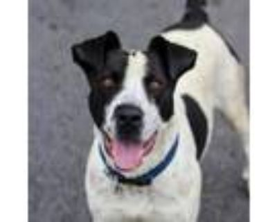 Adopt Scrappy - adoption fee lowered - upload records a Pit Bull Terrier
