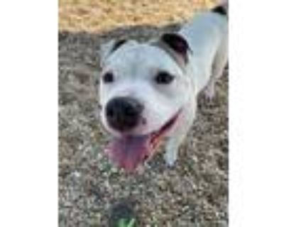 Adopt Granola a White American Pit Bull Terrier / Mixed dog in Chesapeake