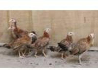 Adopt NECKS a Red Chicken / Mixed bird in Los Angeles, CA (31504093)