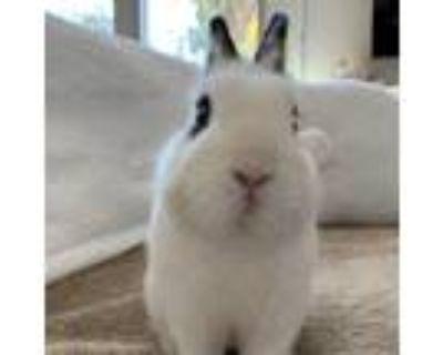 Adopt Jesse a Black Netherland Dwarf / Mixed (short coat) rabbit in Los Angeles