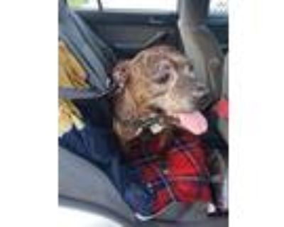 Adopt Prissy a American Pit Bull Terrier / Mixed dog in Washington