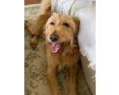 Adopt Annie Oakley a Tan/Yellow/Fawn Goldendoodle / Mixed dog in Dallas
