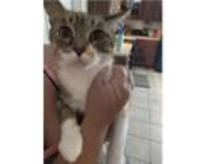 Adopt Foxy a Calico or Dilute Calico Calico / Mixed (short coat) cat in