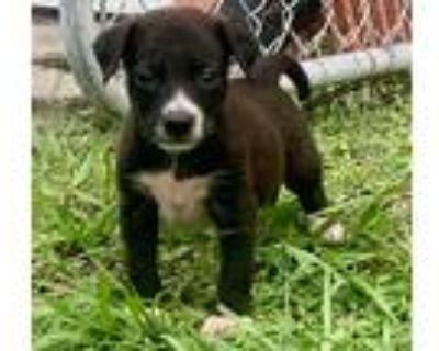 Adopt Cole a Black - with White Labrador Retriever / Border Collie / Mixed dog