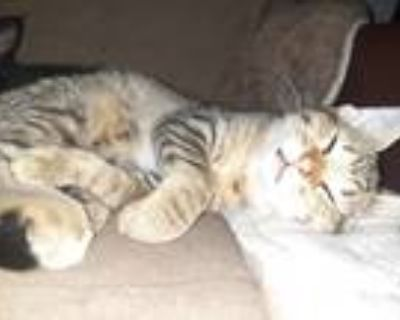 Adopt Tip a Tan or Fawn Tabby Domestic Shorthair / Mixed (short coat) cat in