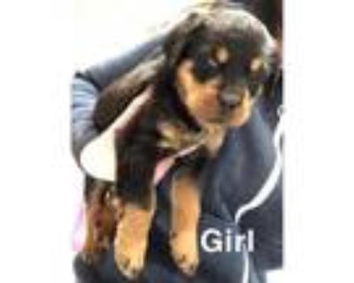 6 beautiful chunky Rottweiler puppies for sale