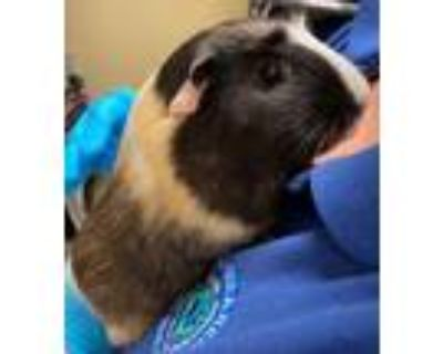 Adopt Penny a White Guinea Pig / Guinea Pig / Mixed small animal in Newport