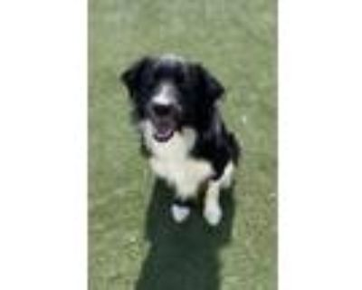 Adopt Scout a Black Border Collie / Mixed dog in Independence, MO (31649586)