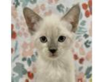 Adopt Snowball a White Siamese / Mixed cat in Palatine, IL (32052229)