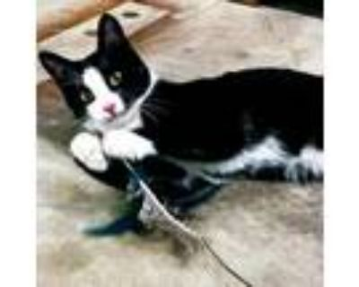 Adopt Spider Man a All Black Domestic Shorthair / Mixed cat in Gibsonia