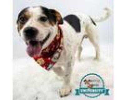 Adopt Keno a Cattle Dog, Basset Hound