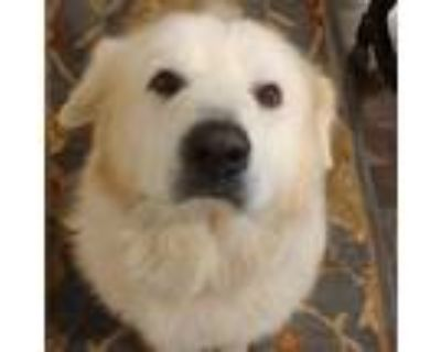 Adopt Snowboy a White - with Tan, Yellow or Fawn Great Pyrenees / Golden