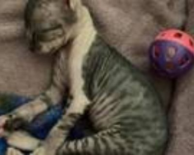 TICA And CFA Registered Sphynx Kittens