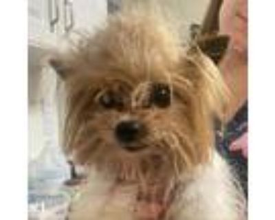 Adopt Harry a Brown/Chocolate Chinese Crested / Mixed dog in Columbus