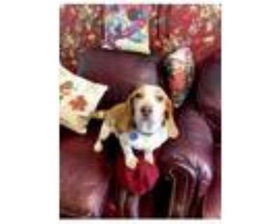 Adopt Fred Red a White - with Tan, Yellow or Fawn Beagle / Mixed dog in