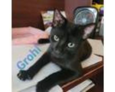 Adopt Grohl a Domestic Short Hair