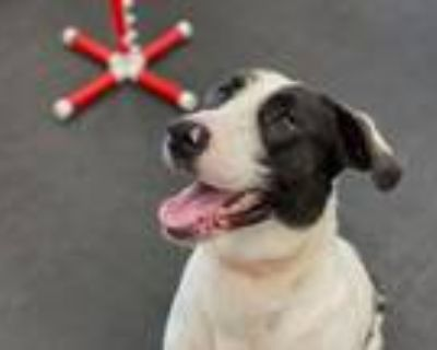Adopt Clifford a Pointer / Great Dane / Mixed dog in Indianapolis, IN (31997336)