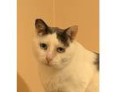 Coop The Cat, Turkish Van For Adoption In Los Angeles, California