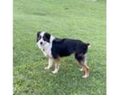 Adopt Zena a Australian Shepherd, Border Collie