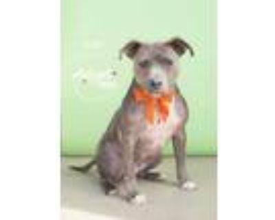 Adopt Bunny a Gray/Blue/Silver/Salt & Pepper American Pit Bull Terrier / Mixed