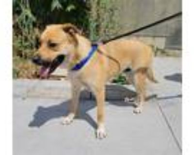 Adopt TIGER a Brown/Chocolate - with White German Shepherd Dog / Rottweiler /
