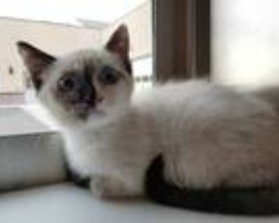 Adopt NILLA a Brown or Chocolate (Mostly) Siamese / Mixed (short coat) cat in